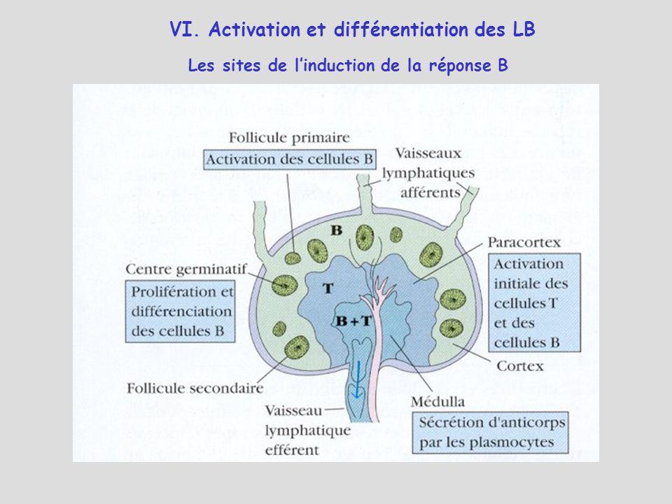 Les sites de linduction de la réponse B VI. Activation et différentiation des LB