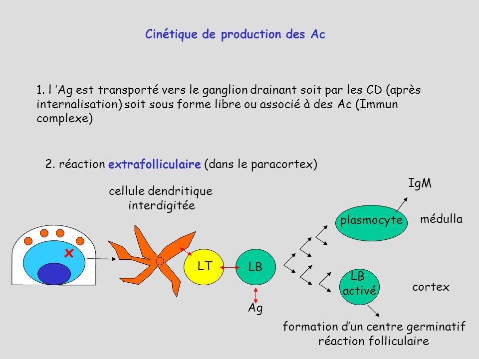 Cinétique de production des Ac 1. l Ag est transporté vers le ganglion drainant soit par les CD (après internalisation) soit sous forme libre ou assoc