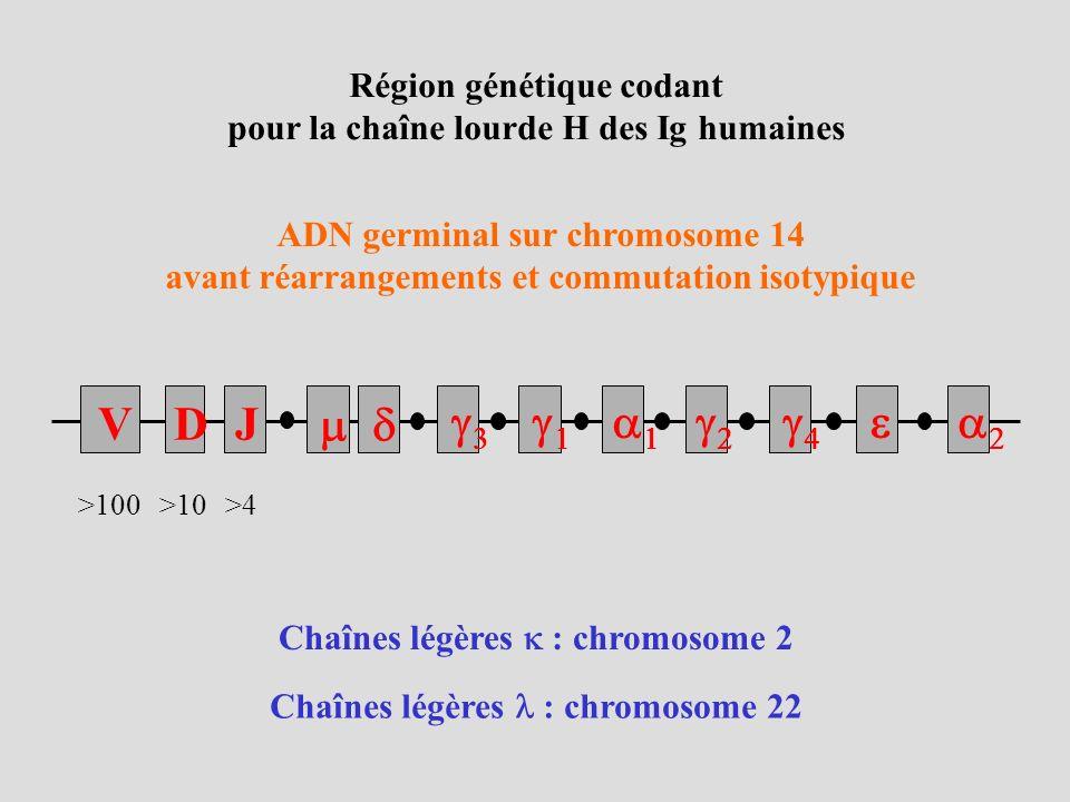 Région génétique codant pour la chaîne lourde H des Ig humaines ADN germinal sur chromosome 14 avant réarrangements et commutation isotypique Chaînes