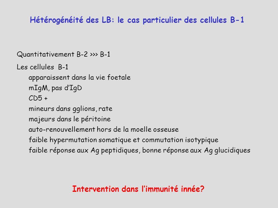 Quantitativement B-2 >>> B-1 Les cellules B-1 apparaissent dans la vie foetale mIgM, pas dIgD CD5 + mineurs dans gglions, rate majeurs dans le péritoi
