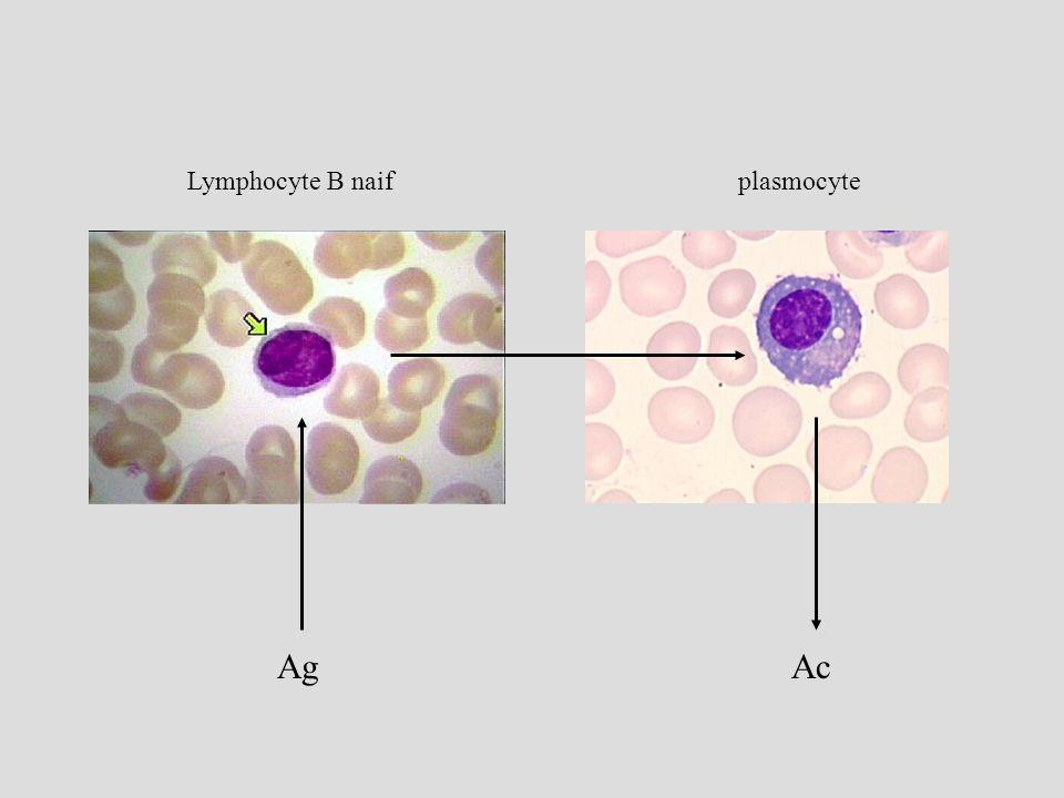 La commutation isotypique dépend des Interleukines LB Ag LT coop cellulaire G0G1 S IgM IgA IgE IL-4, 13 IgG plasmocyte IL-2 IL- 4, 5, 10 IL- 5, 10, TGF centrocytes IL-2, 4,