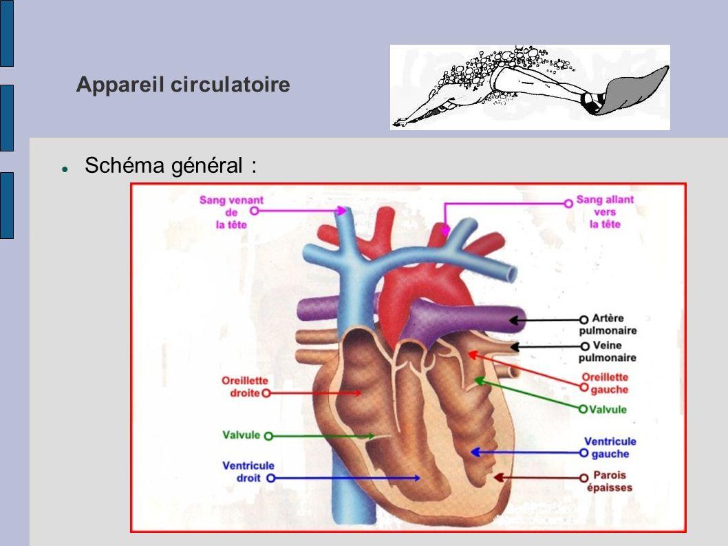 Appareil circulatoire Schéma général :