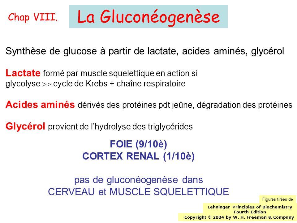 La Gluconéogenèse Synthèse de glucose à partir de lactate, acides aminés, glycérol Lactate formé par muscle squelettique en action si glycolyse cycle