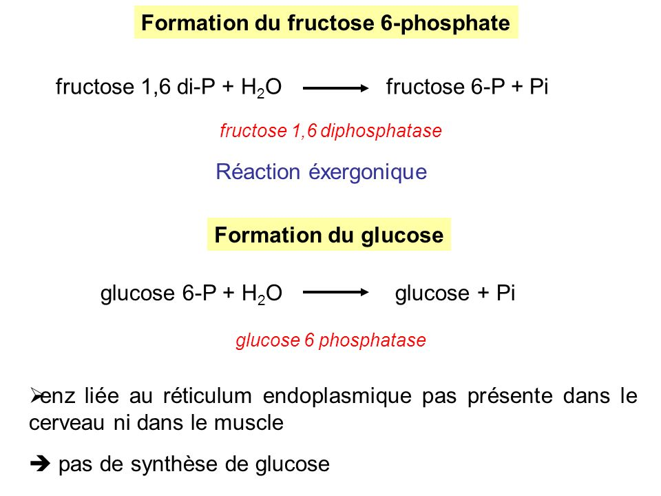Formation du fructose 6-phosphate fructose 1,6 di-P + H 2 Ofructose 6-P + Pi fructose 1,6 diphosphatase Réaction éxergonique Formation du glucose gluc