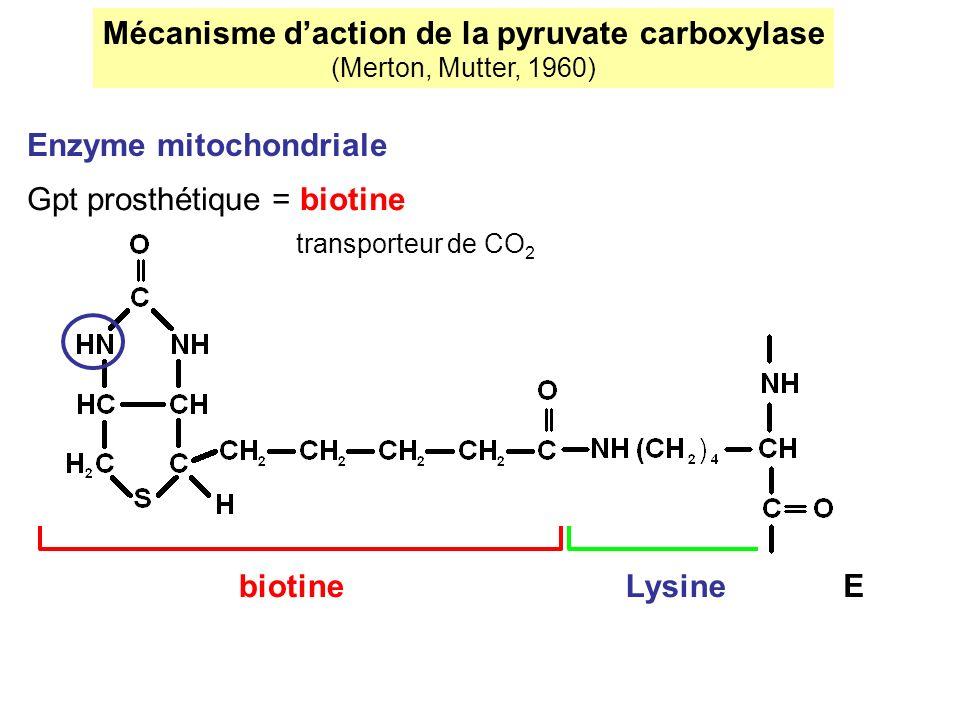 Mécanisme daction de la pyruvate carboxylase (Merton, Mutter, 1960) Enzyme mitochondriale Gpt prosthétique = biotine transporteur de CO 2 biotineLysin