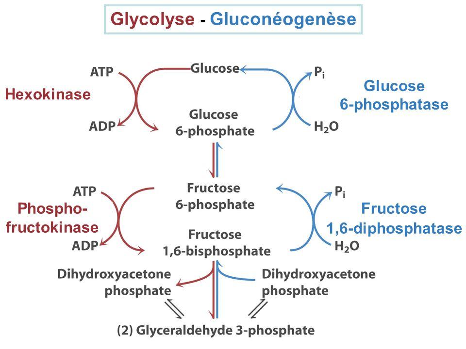 Glycolyse - Gluconéogenèse Glucose 6-phosphatase Fructose 1,6-diphosphatase Hexokinase Phospho- fructokinase
