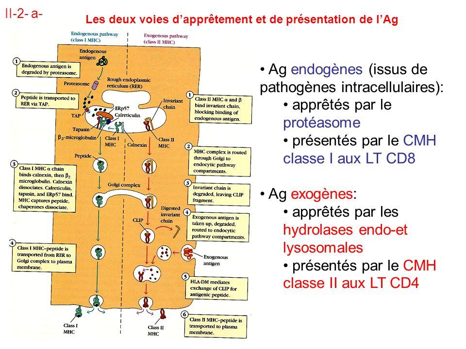 II-2- a- Ag endogènes (issus de pathogènes intracellulaires): apprêtés par le protéasome présentés par le CMH classe I aux LT CD8 Ag exogènes: apprêtés par les hydrolases endo-et lysosomales présentés par le CMH classe II aux LT CD4 Les deux voies dapprêtement et de présentation de lAg
