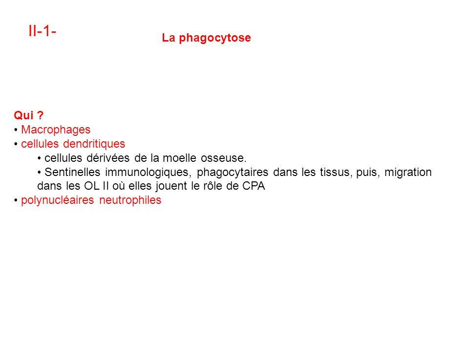 II-1- La phagocytose Qui .