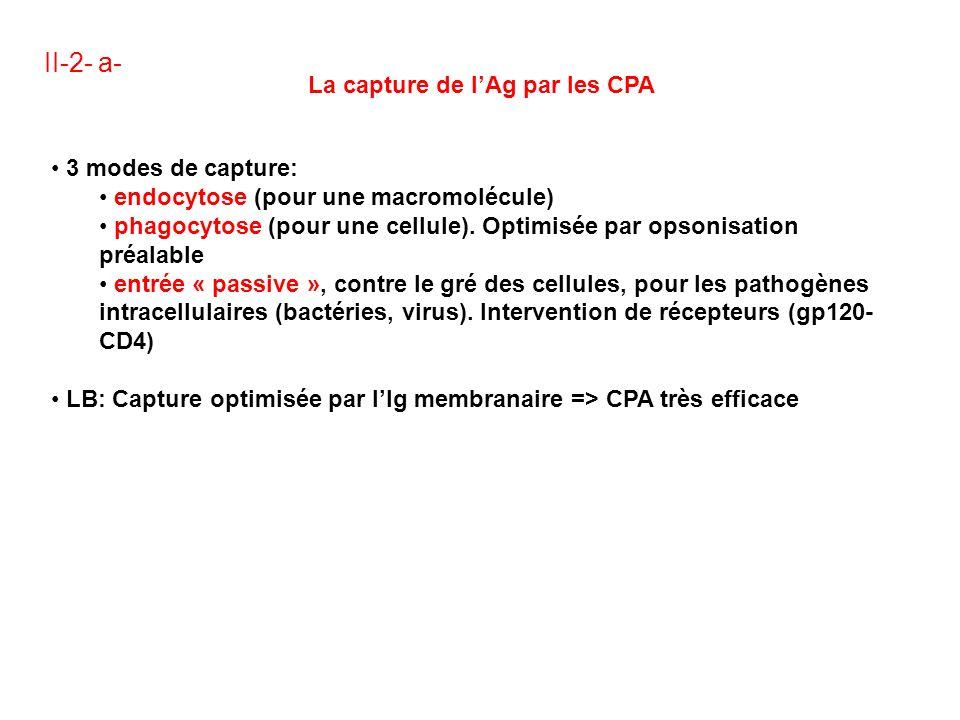 II-2- a- La capture de lAg par les CPA 3 modes de capture: endocytose (pour une macromolécule) phagocytose (pour une cellule).