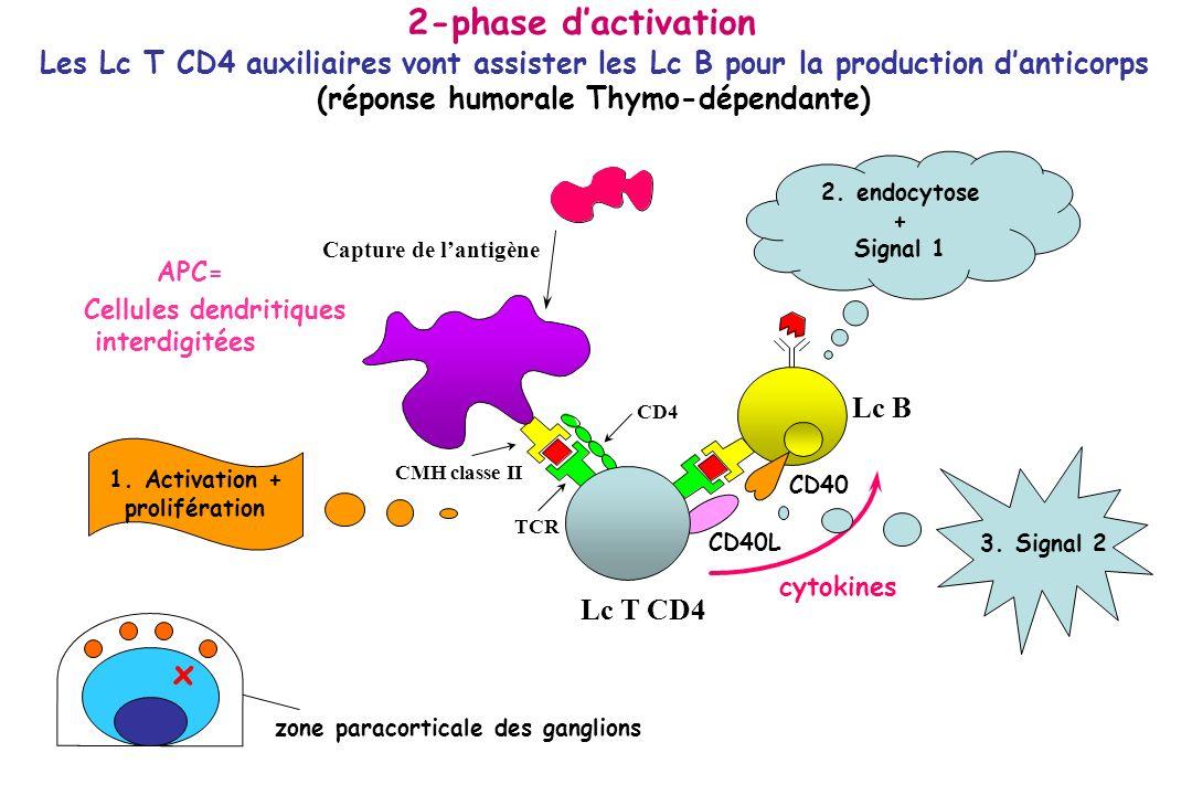 APC= Les Lc T CD4 auxiliaires vont assister les Lc B pour la production danticorps (réponse humorale Thymo-dépendante) Lc B cytokines 2. endocytose +