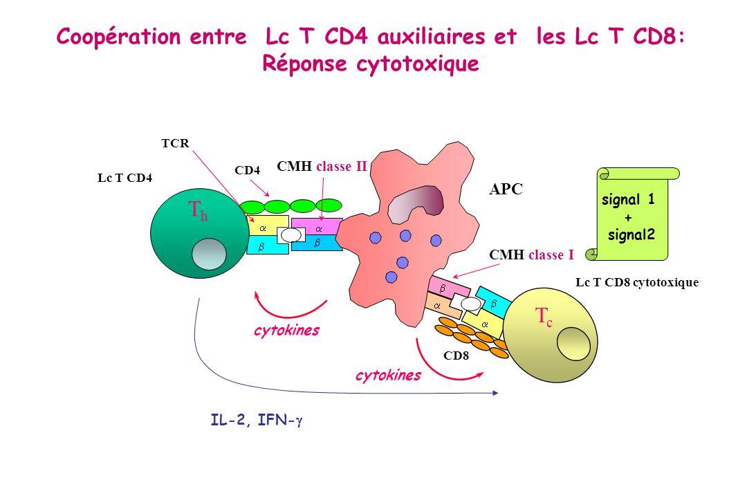 CMH classe II CD4 TCR Lc T CD4 APC cytokines CMH classe I cytokines CD8 Lc T CD8 cytotoxique ThTh TcTc Coopération entre Lc T CD4 auxiliaires et les L