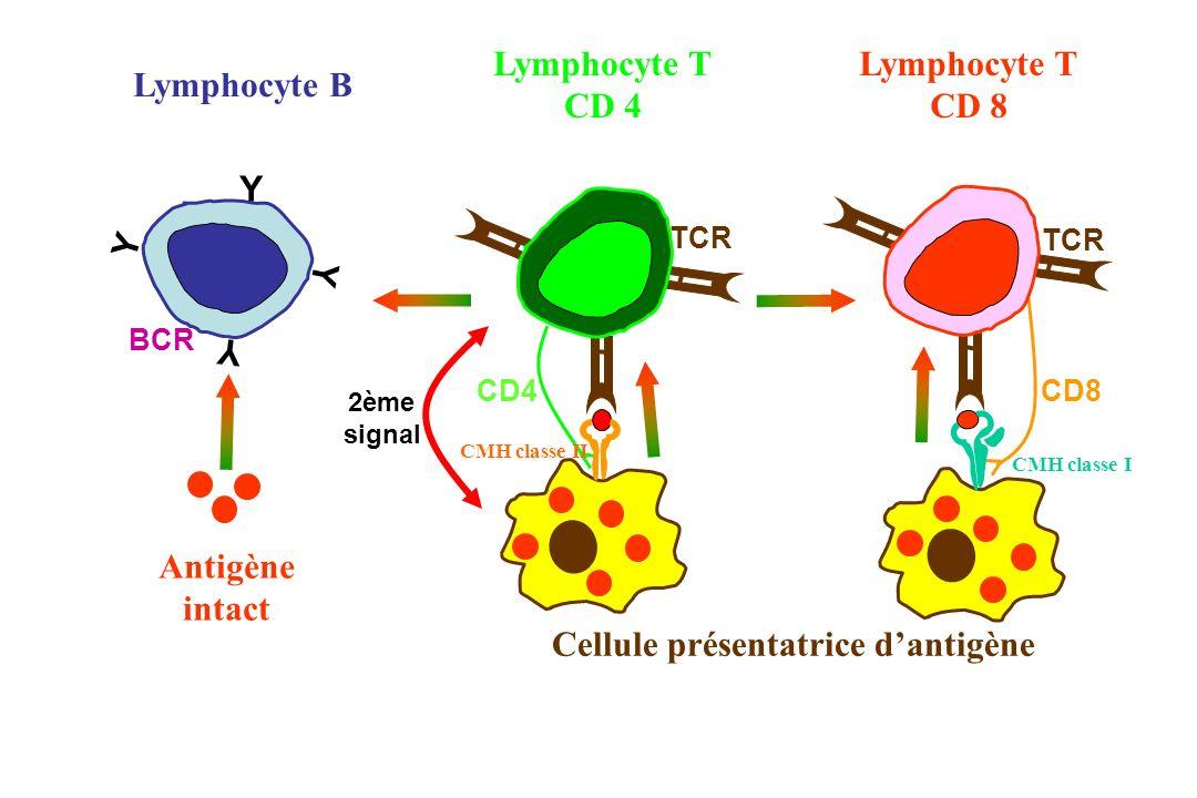 CD8 CD4 Antigène intact CMH classe I Cellule présentatrice dantigène CMH classe II Lymphocyte T CD 8 Lymphocyte T CD 4 TCR Lymphocyte B BCR Y Y Y Y TC