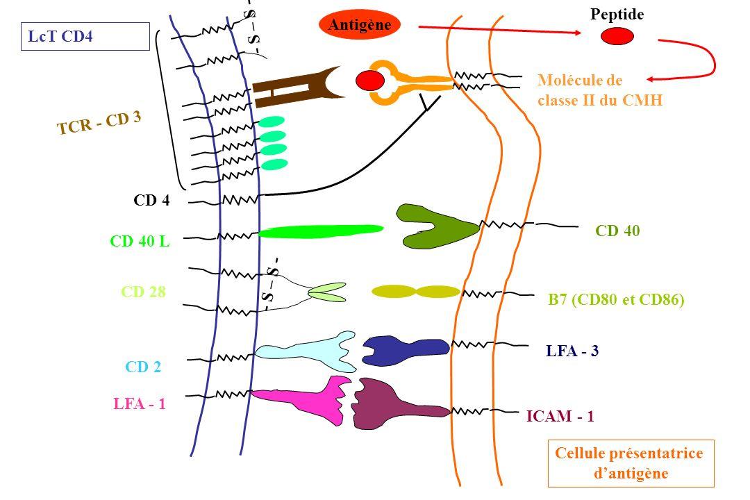 CD 4 LFA - 3 ICAM - 1 CD 40 B7 (CD80 et CD86) LFA - 1 CD 2 CD 40 L - S – S - CD 28 - S – S - TCR - CD 3 LcT CD4 Cellule présentatrice dantigène Antigè