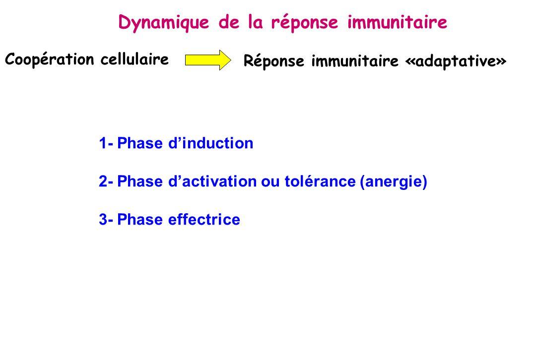 Coopération cellulaire Réponse immunitaire «adaptative» 1- Phase dinduction 2- Phase dactivation ou tolérance (anergie) 3- Phase effectrice Dynamique