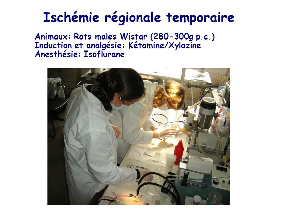Ischémie régionale temporaire Animaux: Rats males Wistar (280-300g p.c.) Induction et analgésie: Kétamine/Xylazine Anesthésie: Isoflurane