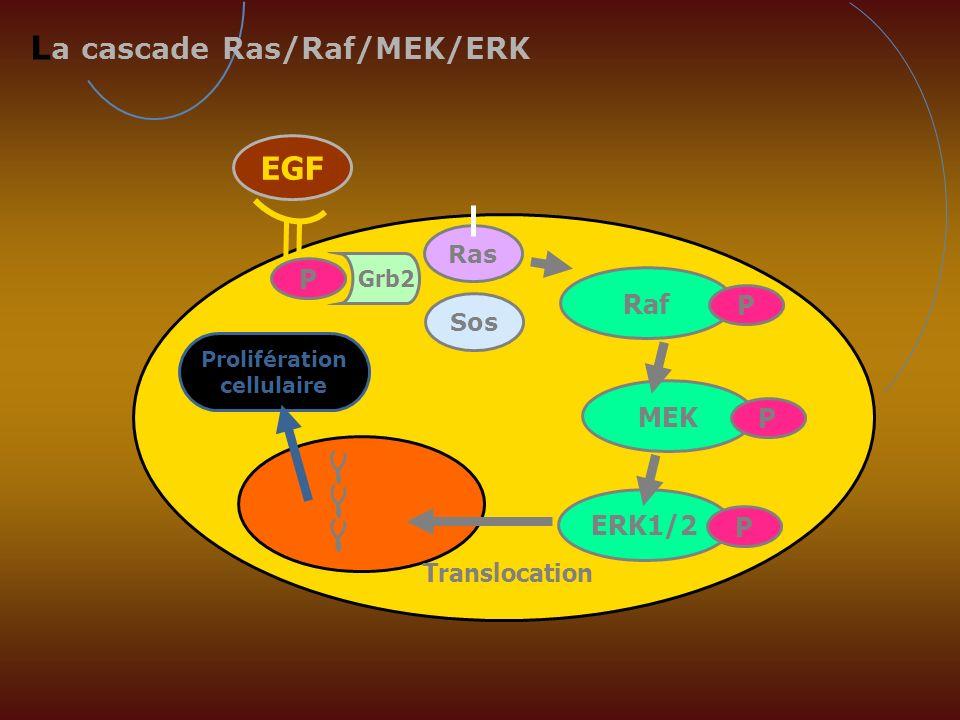 EGF L a cascade Ras/Raf/MEK/ERK Prolifération cellulaire MEK P ERK1/2 P Translocation Ras Grb2 P Raf P Sos