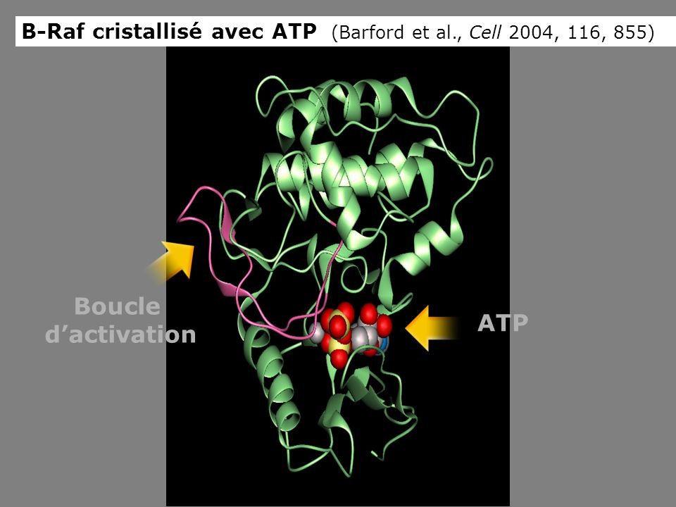 ATP Boucle dactivation B-Raf cristallisé avec ATP (Barford et al., Cell 2004, 116, 855)