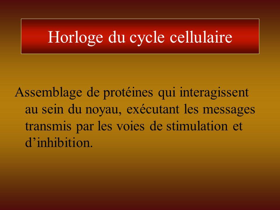 Horloge du cycle cellulaire Assemblage de protéines qui interagissent au sein du noyau, exécutant les messages transmis par les voies de stimulation e