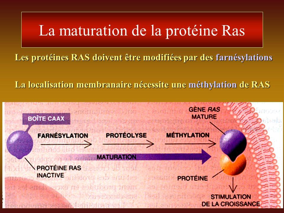 La maturation de la protéine Ras Les protéines RAS doivent être modifiées par des farnésylations La localisation membranaire nécessite une méthylation