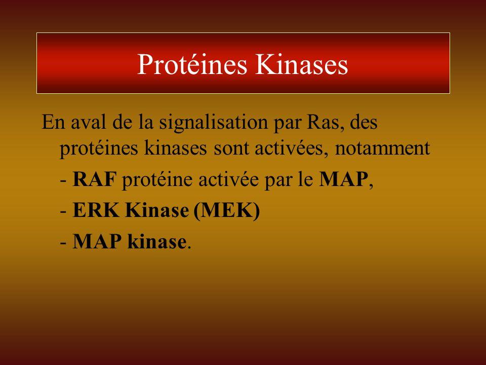 Protéines Kinases En aval de la signalisation par Ras, des protéines kinases sont activées, notamment - RAF protéine activée par le MAP, - ERK Kinase