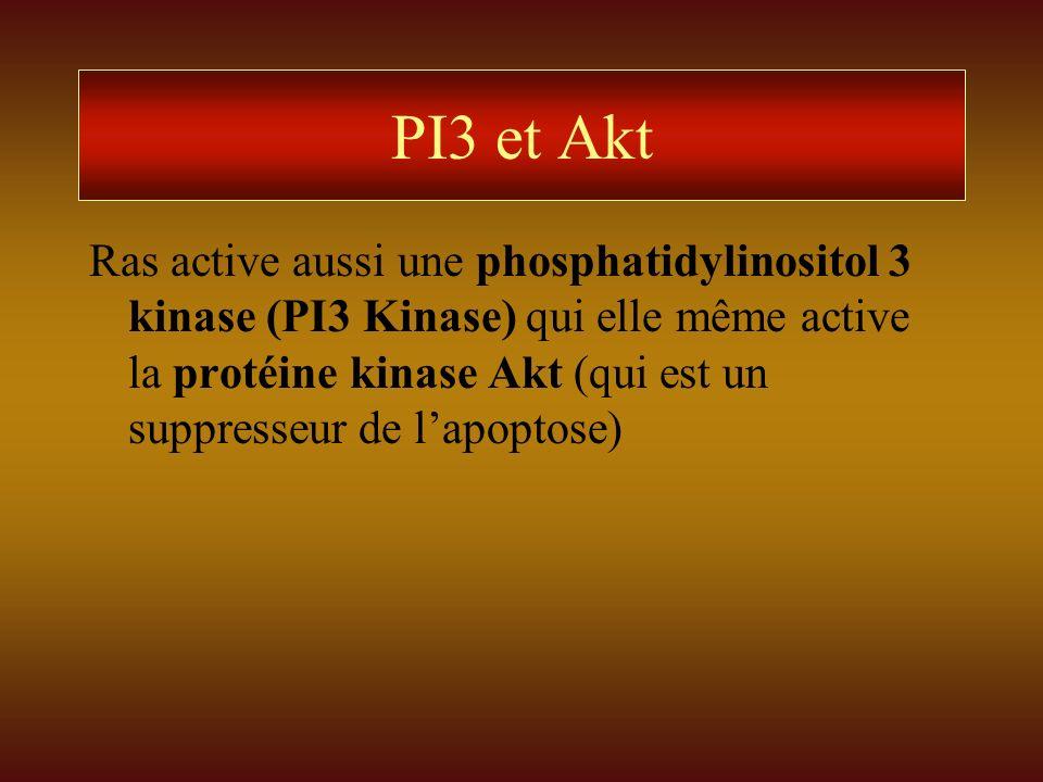 PI3 et Akt Ras active aussi une phosphatidylinositol 3 kinase (PI3 Kinase) qui elle même active la protéine kinase Akt (qui est un suppresseur de lapo
