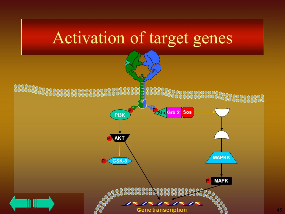 Activation of target genes P P Shc Grb 2 Sos PI3K P Ras Raf MAPK AKT GSK-3 P P Gene transcription 45 MAPKK