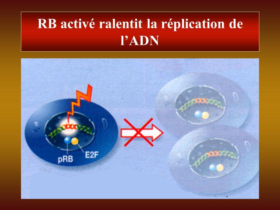 RB activé ralentit la réplication de lADN
