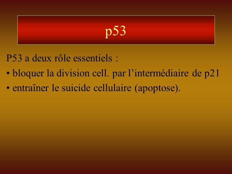p53 P53 a deux rôle essentiels : bloquer la division cell. par lintermédiaire de p21 entraîner le suicide cellulaire (apoptose).