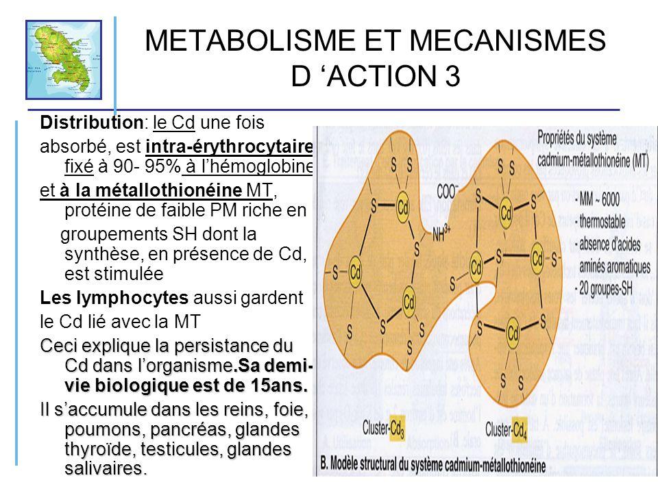 METABOLISME ET MECANISMES D ACTION 3 Distribution: le Cd une fois absorbé, est intra-érythrocytaire fixé à 90- 95% à lhémoglobine et à la métallothion