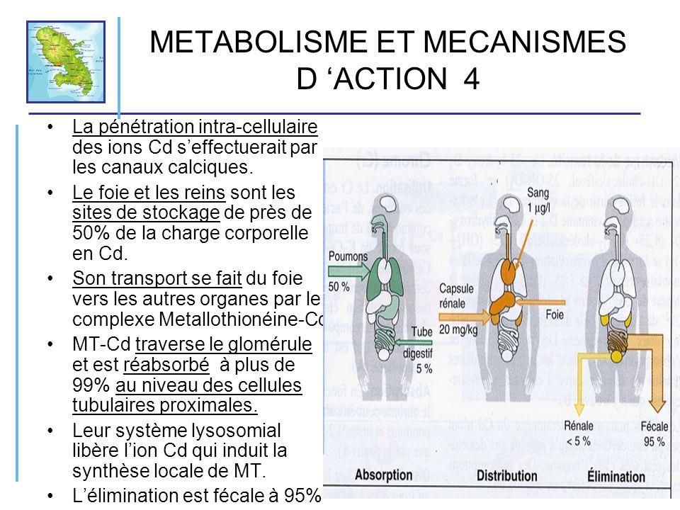 METABOLISME ET MECANISMES D ACTION 4 La pénétration intra-cellulaire des ions Cd seffectuerait par les canaux calciques. Le foie et les reins sont les