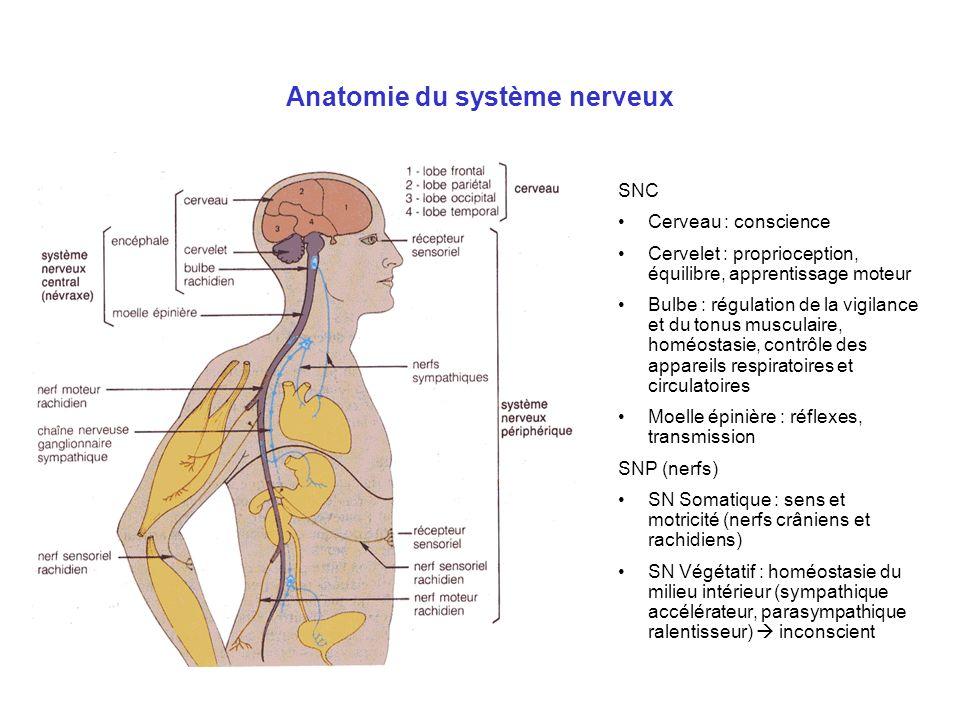 Anatomie du système nerveux SNC Cerveau : conscience Cervelet : proprioception, équilibre, apprentissage moteur Bulbe : régulation de la vigilance et