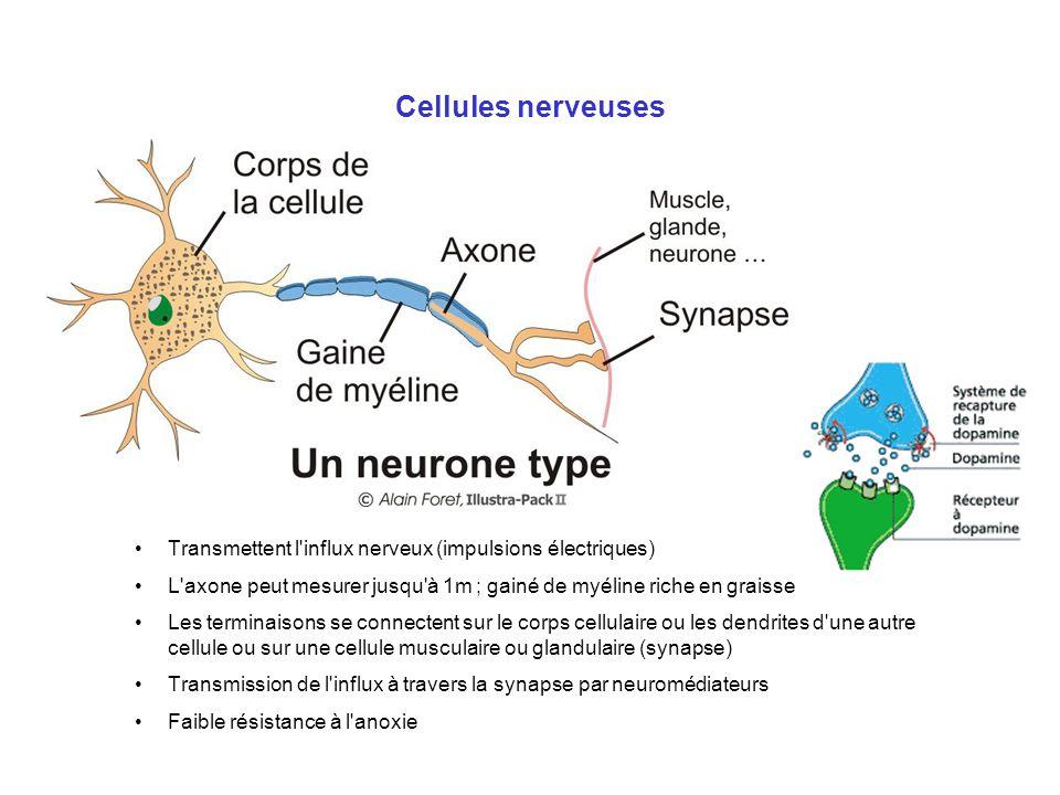 Cellules nerveuses Transmettent l'influx nerveux (impulsions électriques) L'axone peut mesurer jusqu'à 1m ; gainé de myéline riche en graisse Les term