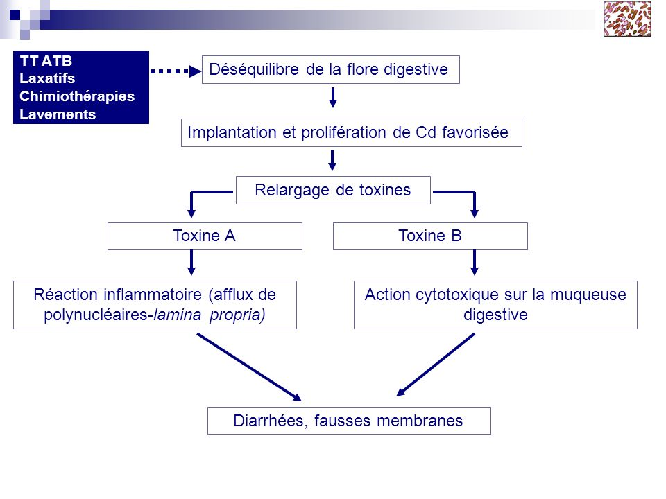 TT ATB Déséquilibre de la flore digestive Implantation et prolifération de Cd favorisée Relargage de toxines Toxine AToxine B Réaction inflammatoire (afflux de polynucléaires-lamina propria) Action cytotoxique sur la muqueuse digestive Diarrhées, fausses membranes Attention .