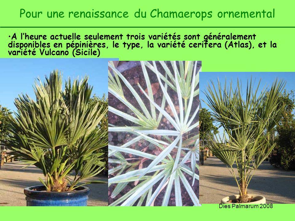 Dies Palmarum 2008 Pour une renaissance du Chamaerops ornemental A lheure actuelle seulement trois variétés sont généralement disponibles en pépinière