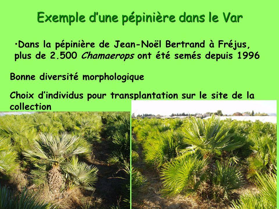 Dies Palmarum 2008 Exemple dune pépinière dans le Var Dans la pépinière de Jean-Noël Bertrand à Fréjus, plus de 2.500 Chamaerops ont été semés depuis