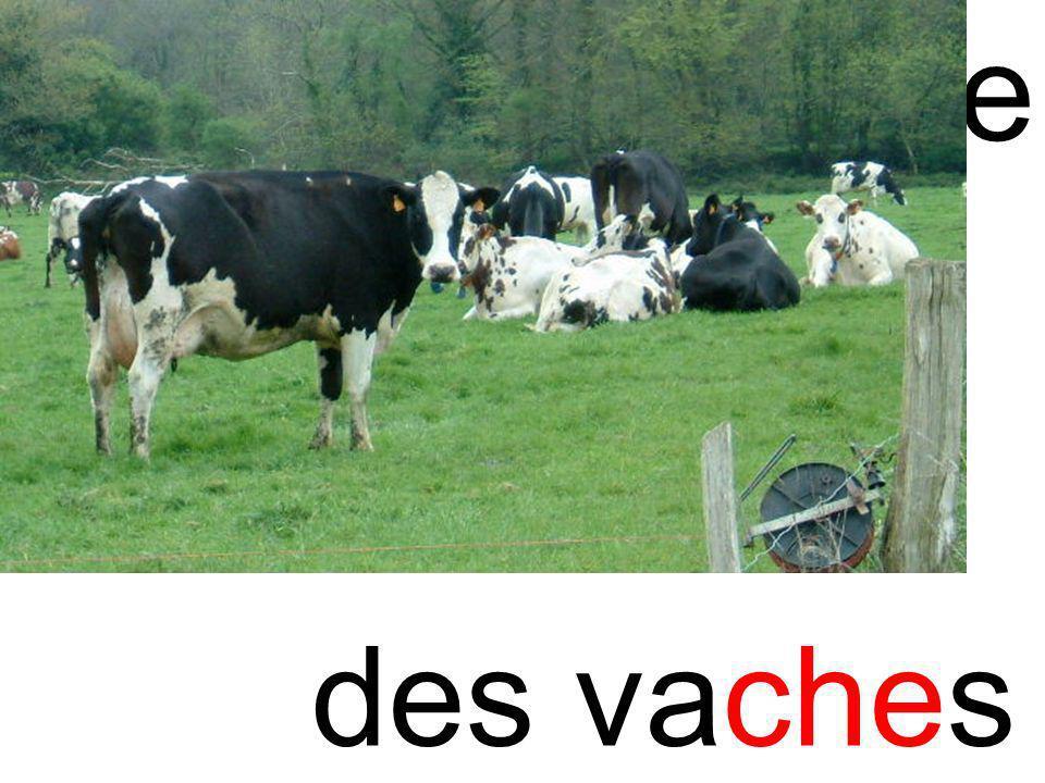 chevache des vaches