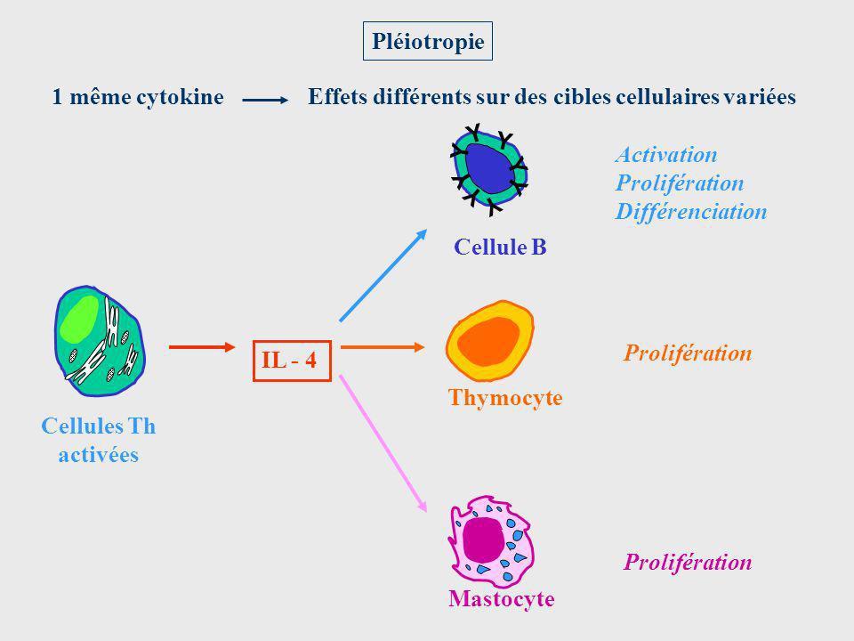 Prolifération Activation Prolifération Différenciation Pléiotropie Cellules Th activées IL - 4 Cellule B Y Y Y Y Y Y Y Y Mastocyte Thymocyte 1 même cy