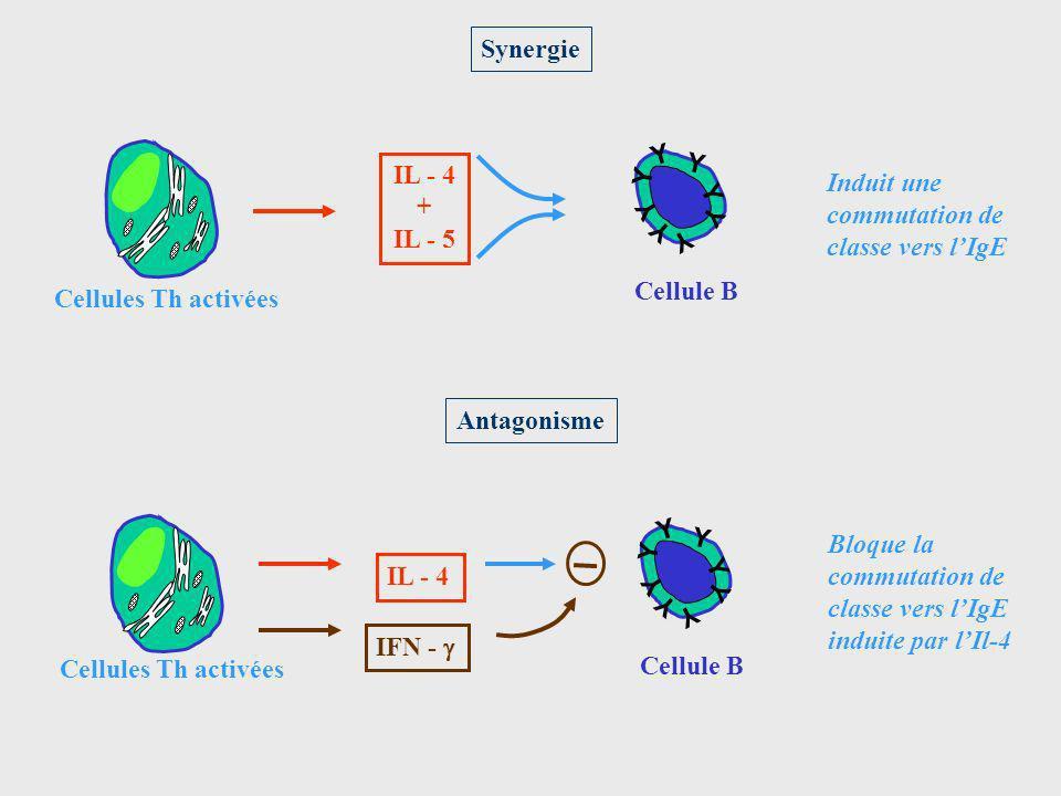 Synergie Antagonisme Induit une commutation de classe vers lIgE Bloque la commutation de classe vers lIgE induite par lIl-4 Cellule B Y Y Y Y Y Y Y Y