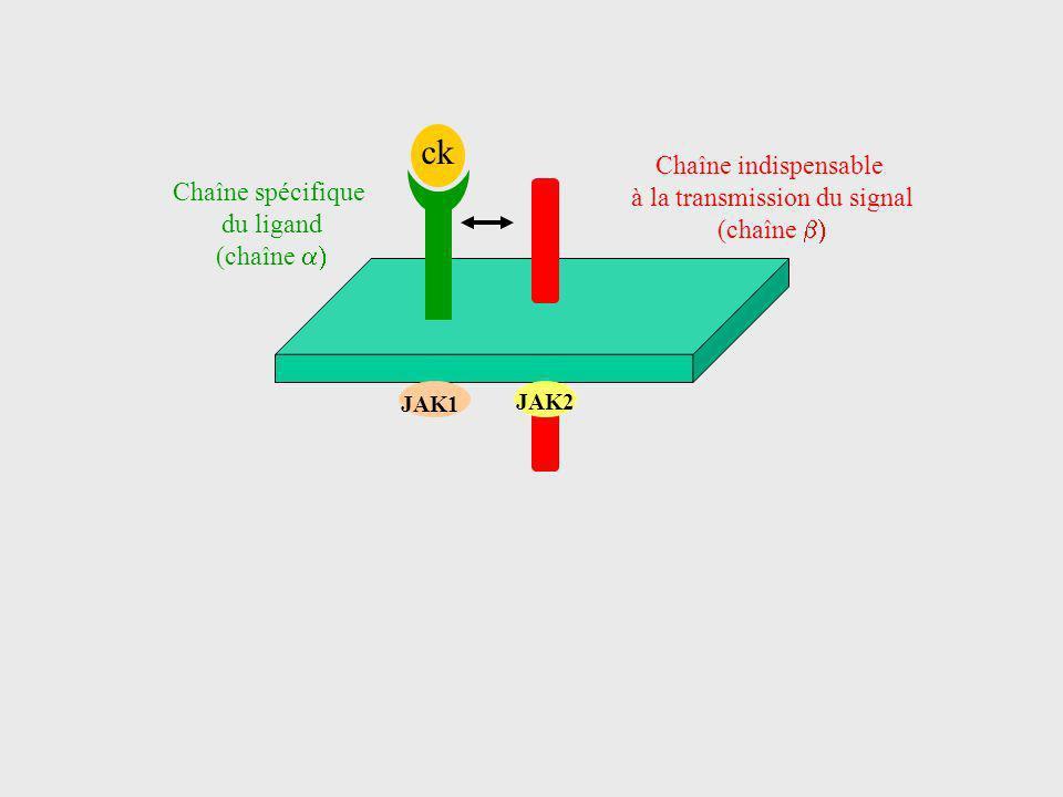 ck Chaîne spécifique du ligand (chaîne Chaîne indispensable à la transmission du signal (chaîne JAK2 JAK1