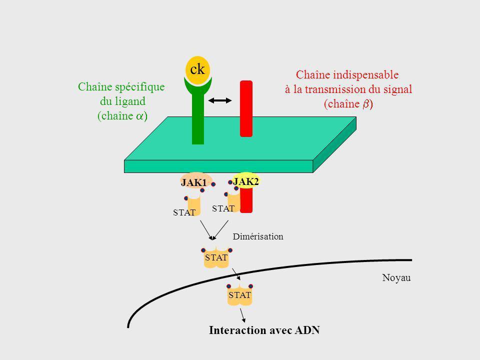 ck Chaîne spécifique du ligand (chaîne Chaîne indispensable à la transmission du signal (chaîne JAK2 JAK1 STAT Dimérisation Noyau Interaction avec ADN