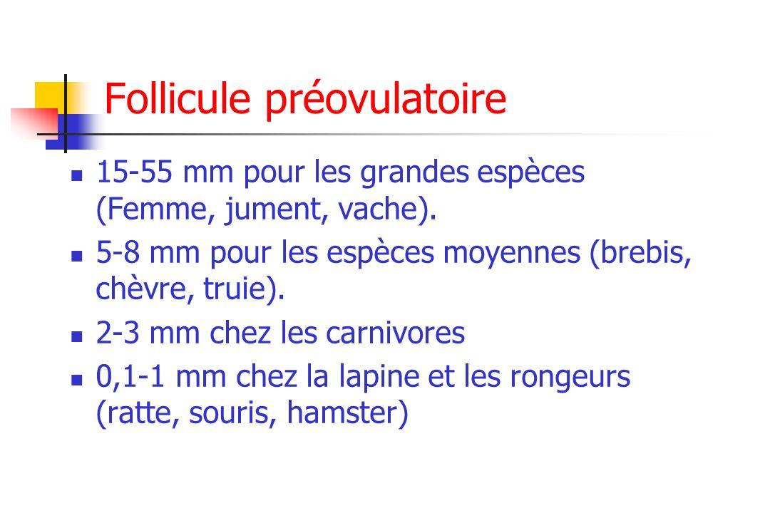 Follicule préovulatoire 15-55 mm pour les grandes espèces (Femme, jument, vache). 5-8 mm pour les espèces moyennes (brebis, chèvre, truie). 2-3 mm che