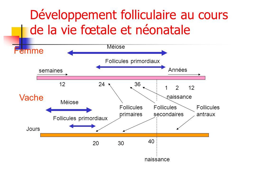 122436 1212 semaines Méiose Follicules primordiaux Années Follicules primaires Follicules secondaires Follicules antraux Femme Vache Jours naissance 2