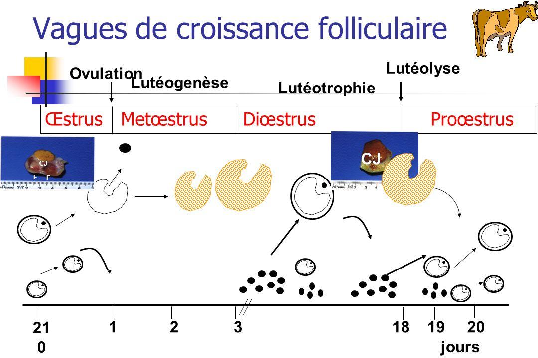 Œstrus Metœstrus Diœstrus Proœstrus Ovulation Lutéogenèse Lutéotrophie Lutéolyse 21 0 121819203 jours CJ F F Vagues de croissance folliculaire