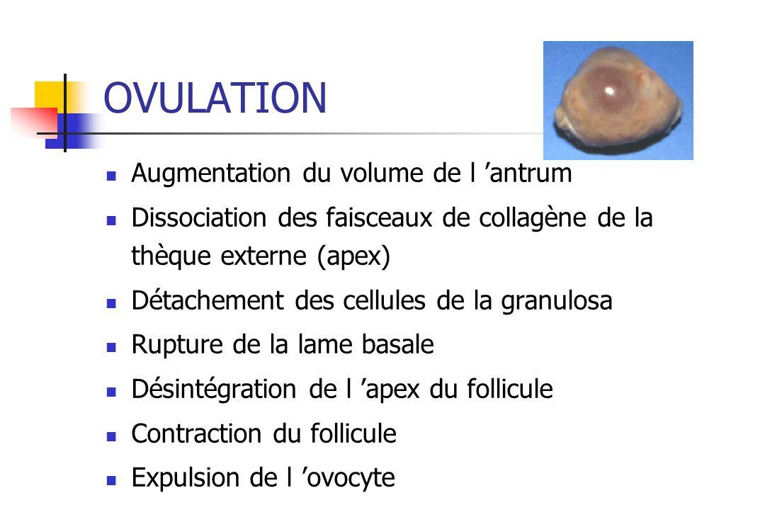 OVULATION Augmentation du volume de l antrum Dissociation des faisceaux de collagène de la thèque externe (apex) Détachement des cellules de la granul