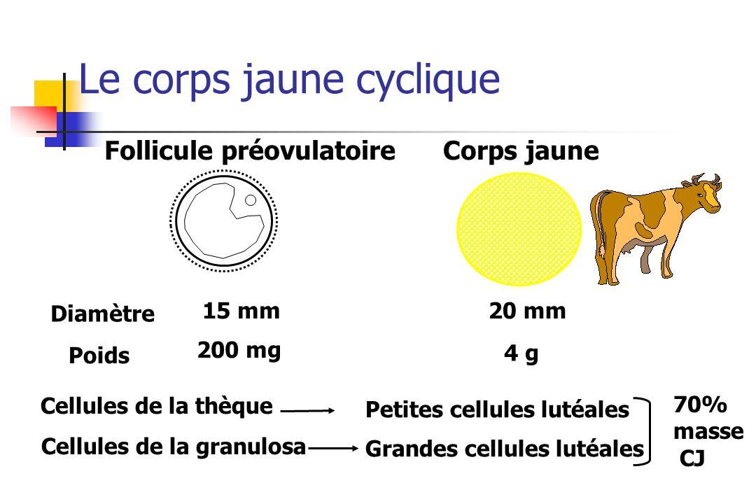 Follicule préovulatoireCorps jaune Cellules de la thèque Cellules de la granulosa Petites cellules lutéales Grandes cellules lutéales 200 mg 4 g 70% m