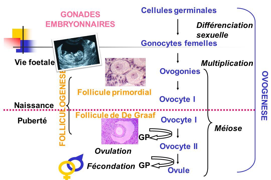 GONADES EMBRYONNAIRES Cellules germinales Gonocytes femelles Ovogonies Ovocyte I Ovocyte II Ovule Différenciation sexuelle Multiplication Méiose GP Ov