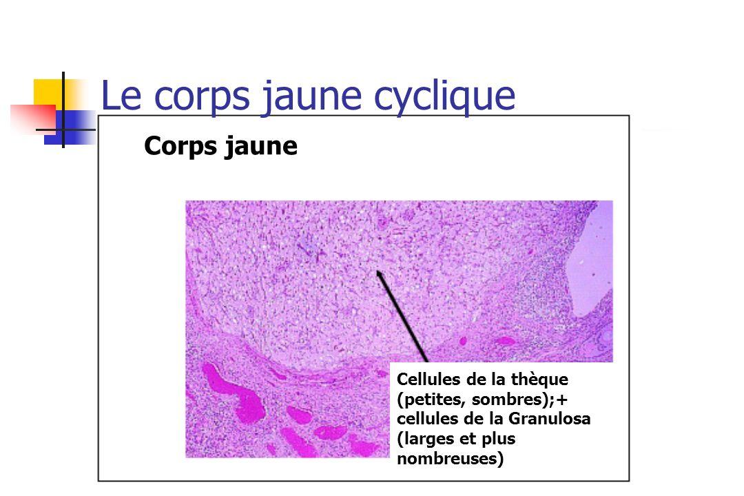 Corps jaune Cellules de la thèque (petites, sombres);+ cellules de la Granulosa (larges et plus nombreuses) Le corps jaune cyclique