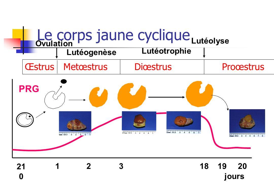 Le corps jaune cyclique Œstrus Metœstrus Diœstrus Proœstrus Ovulation Lutéogenèse Lutéotrophie Lutéolyse 21 0 121819203 jours PRG