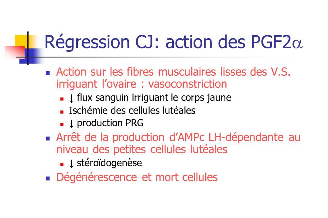 Régression CJ: action des PGF2 Action sur les fibres musculaires lisses des V.S. irriguant lovaire : vasoconstriction flux sanguin irriguant le corps