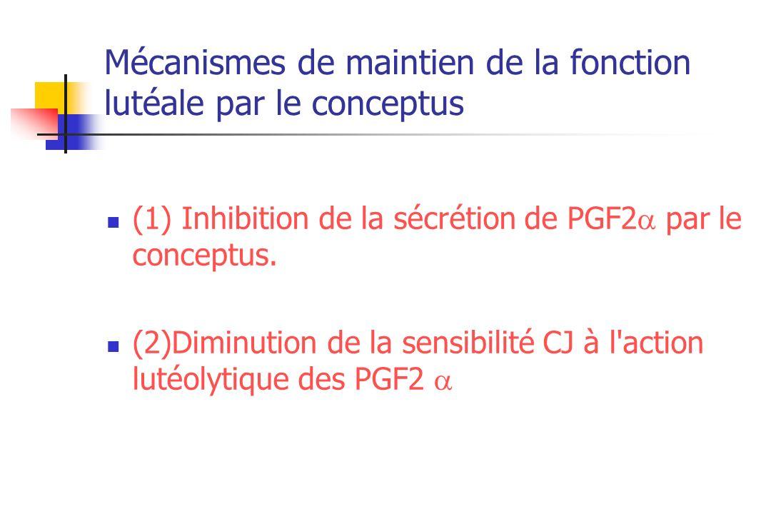 Mécanismes de maintien de la fonction lutéale par le conceptus (1) Inhibition de la sécrétion de PGF2 par le conceptus. (2)Diminution de la sensibilit